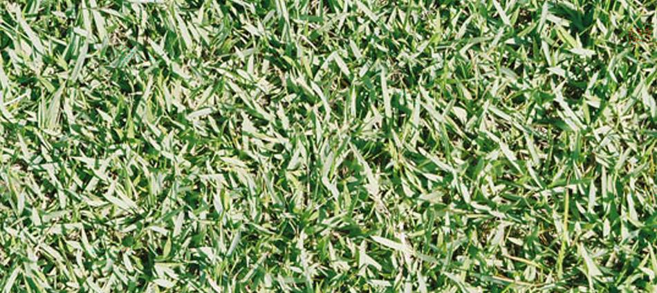 Jamur Zoysia sod grass